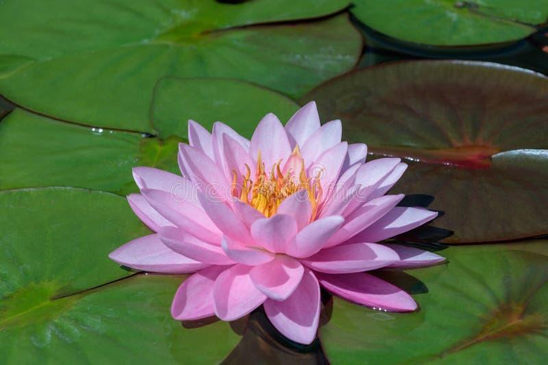 Le beau rose Lotus Flower ou nénuphar dans l'étang photo stock