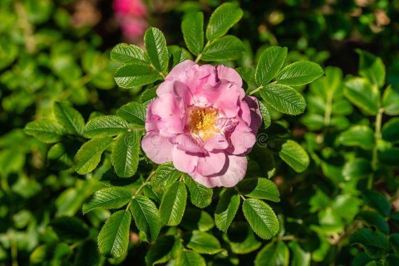 Le beau rose simple a monté en soleil lumineux entouré par gree photos stock