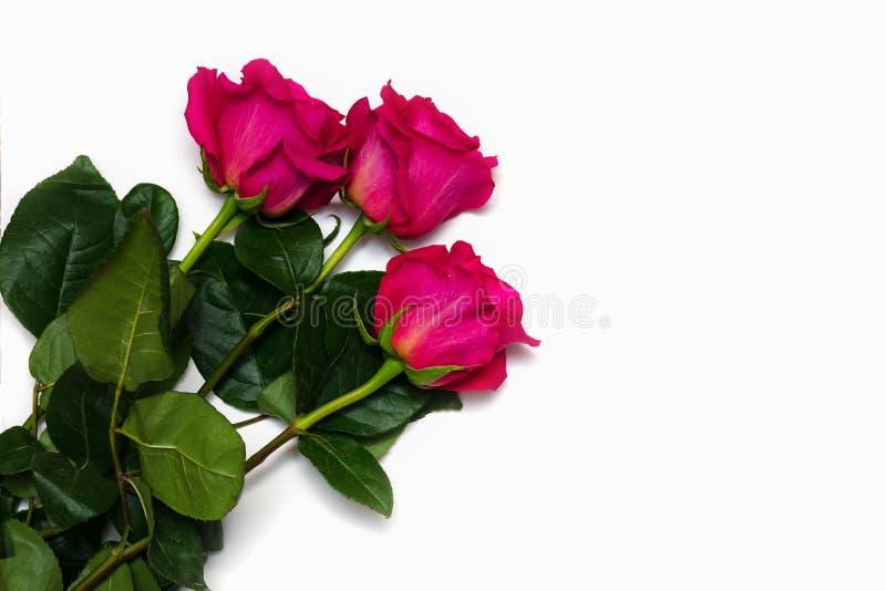 Le beau rose trois a mont? d'isolement sur le fond blanc avec l'espace pour votre texte photographie stock libre de droits