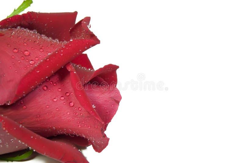 le beau rouge a monté image stock