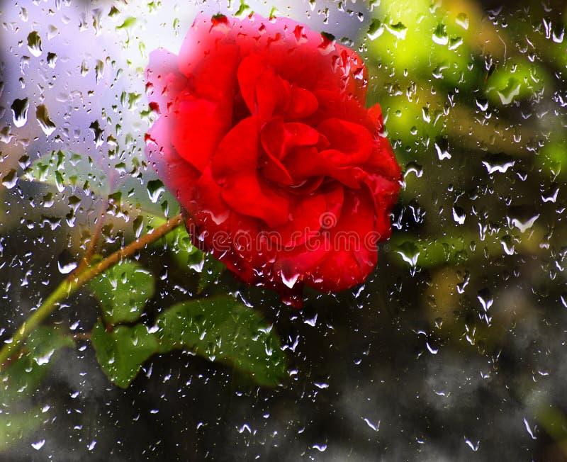Le beau rouge a monté dans le jardin photos libres de droits
