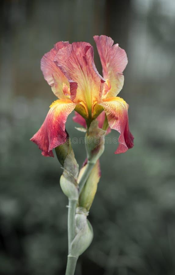 Le beau rouge multicolore de floraison avec la fleur jaune irisent images libres de droits
