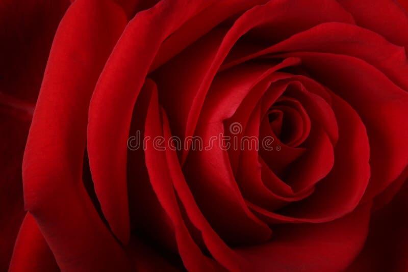 Le beau rouge romantique a monté photo libre de droits