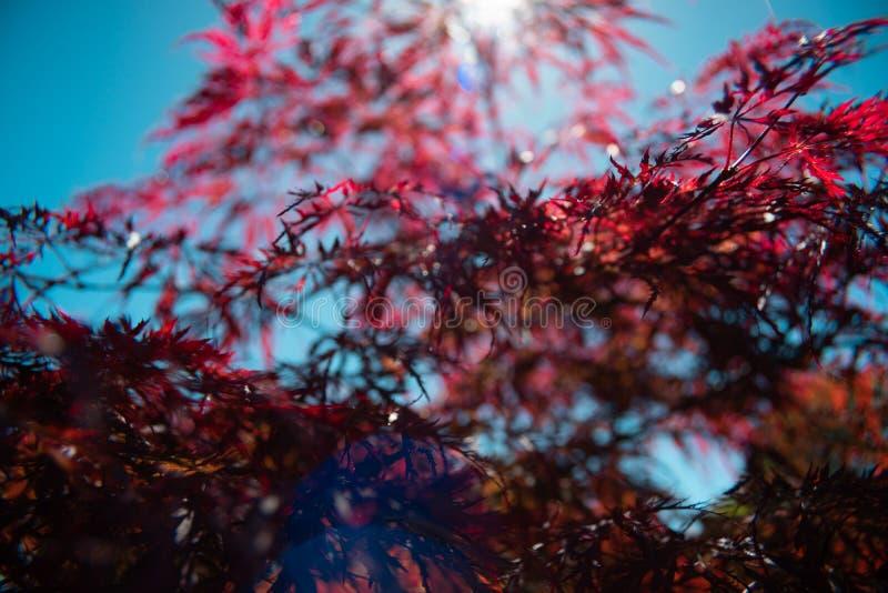 Le beau soleil d'usine d'érable rouge image libre de droits
