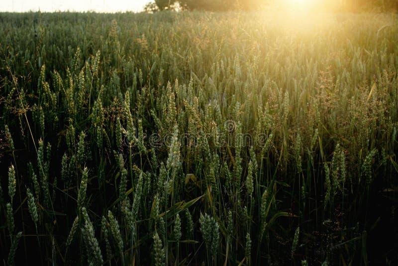 Le beau soleil rayonne au champ de blé de seigle, le moment étonnant i de soleil photographie stock