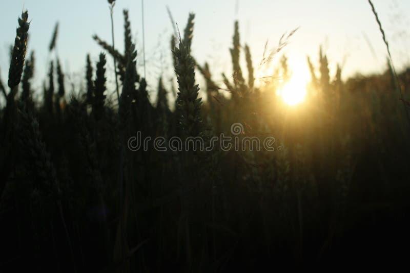 Le beau soleil rayonne au champ de blé de seigle, le moment étonnant i de soleil images libres de droits