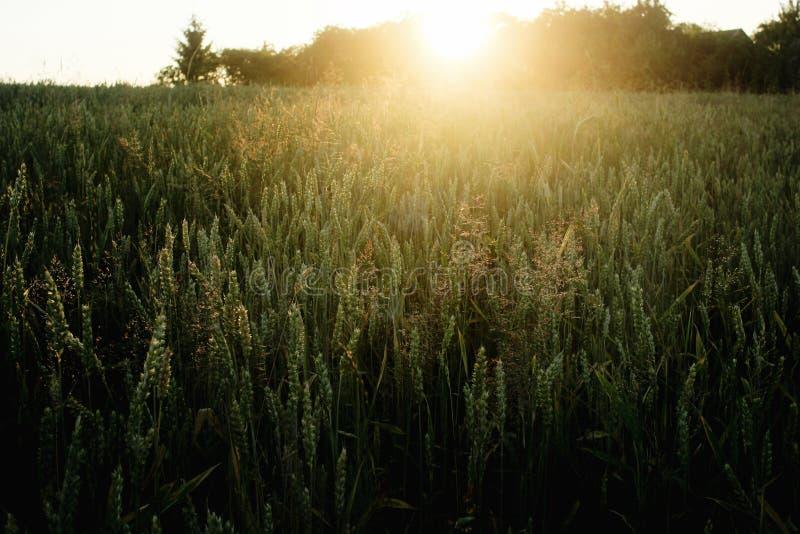 Le beau soleil rayonne au champ de blé de seigle, le moment étonnant i de soleil photos stock
