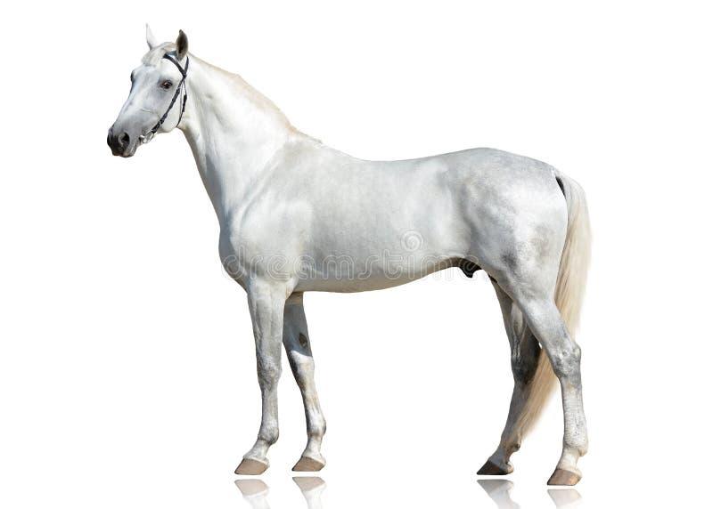 Le beau support gris de race de trotteur d'Orlov d'étalon d'isolement sur le fond blanc photo stock