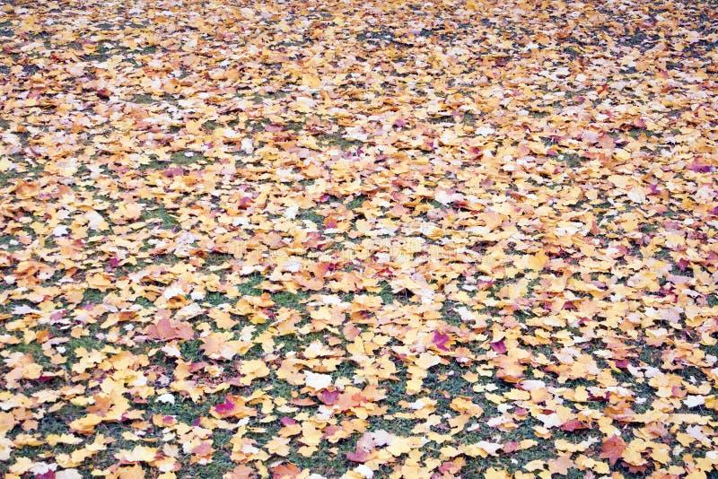 Le beau tapis coloré de feuille de l'automne différent a jauni des feuilles se trouvant sur l'herbe photos libres de droits