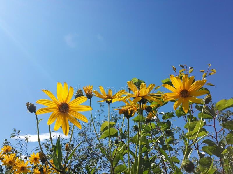 Download Le Beau Topinambour Jaune Fleurit Et Ciel Bleu Image stock - Image du centrale, rural: 76086809