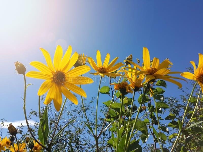 Download Le Beau Topinambour Jaune Fleurit Et Ciel Bleu Image stock - Image du gris, automne: 76087685