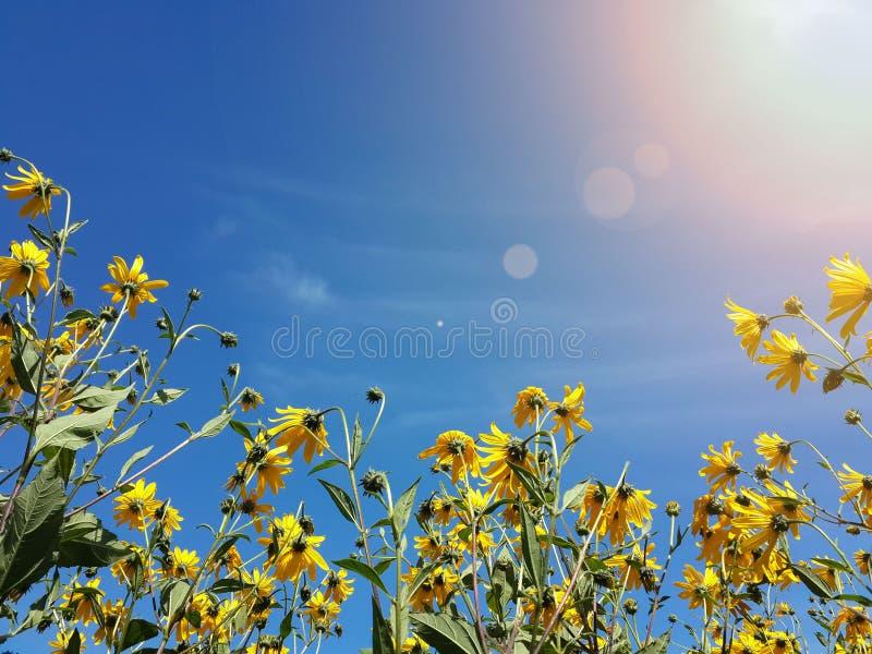 Download Le Beau Topinambour Jaune Fleurit Et Ciel Bleu Image stock - Image du campagne, beau: 76087721