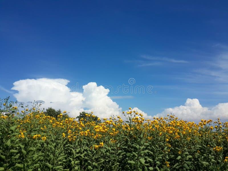 Download Le Beau Topinambour Jaune Fleurit Et Ciel Nuageux Bleu Photo stock - Image du automne, centrale: 76087260