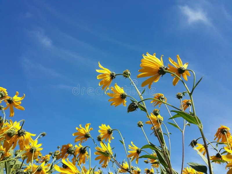 Download Le Beau Topinambour Jaune Fleurit Et Ciel Nuageux Bleu Image stock - Image du beauté, nature: 76087603