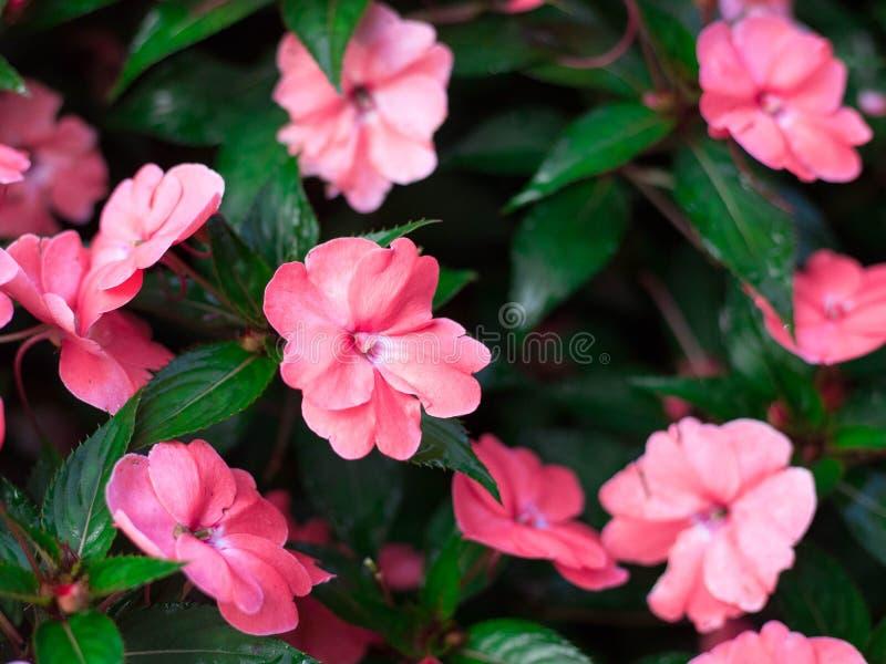 Le begonie di cera o il semperflorens-cultorum fibroso di Begonia Begonia x è una pianta perenne, ha fiori rosa variopinti fotografia stock libera da diritti