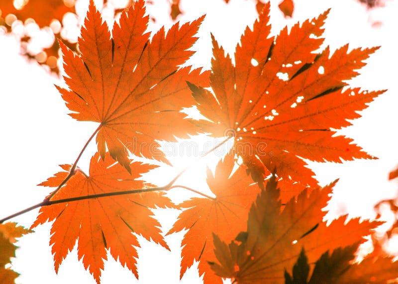 Le bel érable de Brigbig part par ce qui va la lumière du soleil belles peintures d'automne photos stock