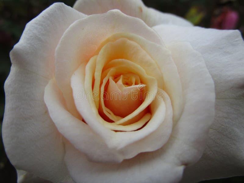 Le bel été blanc-jaune a monté à la Reine Elizabeth Park Garden image libre de droits
