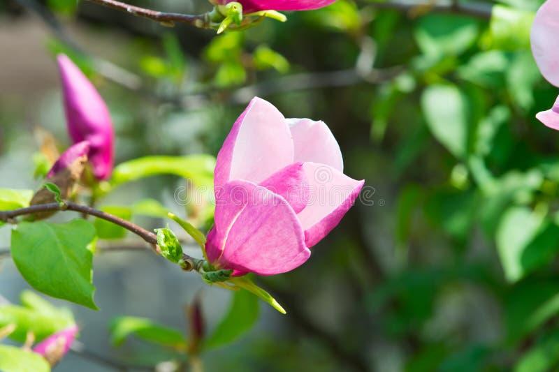 Le bel arbre rose-clair ou pourpre de magnolia avec la floraison fleurit images stock