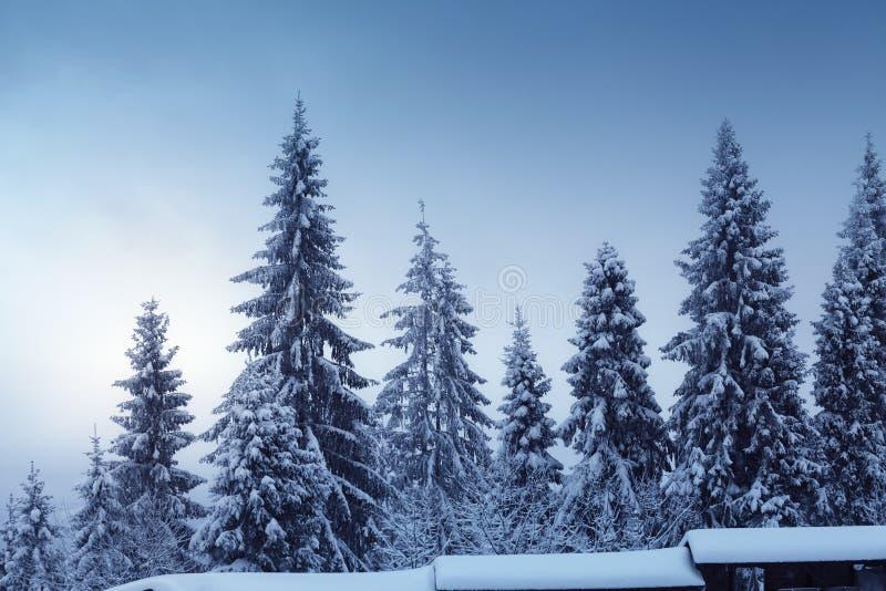 Le bel horizontal de l'hiver avec la neige a couvert des sapins images stock