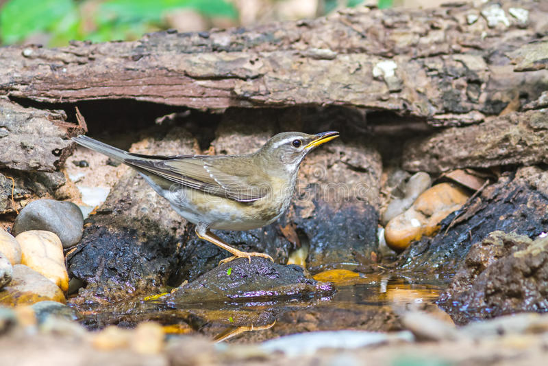 Le bel oiseau Eyebrowed ThrushTurdus obscurcit l'eau de boissons sur le baquet photos stock