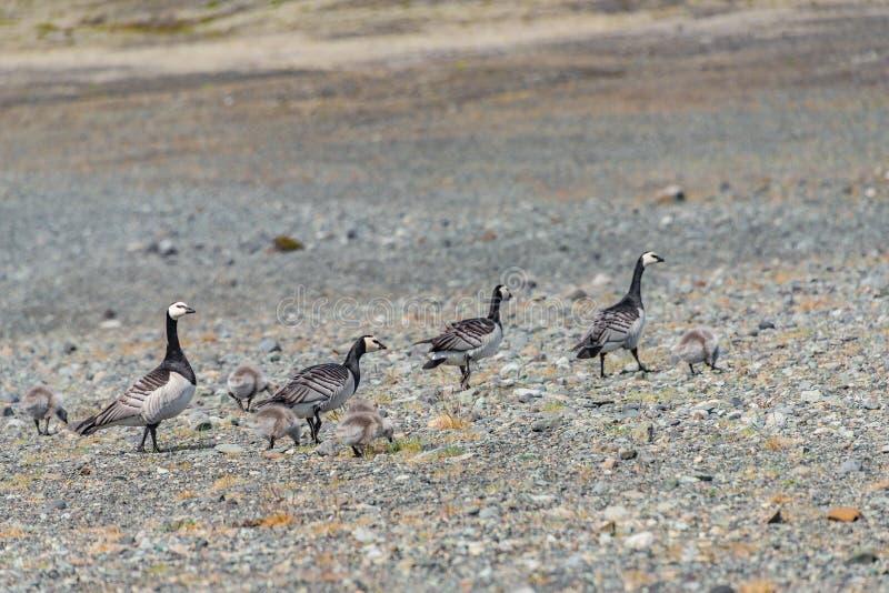Le bel oiseau islandais a appelé des oies de bernache avec l'élevage de leucopsis de Branta de poussins en Islande, lagune de gla photos stock