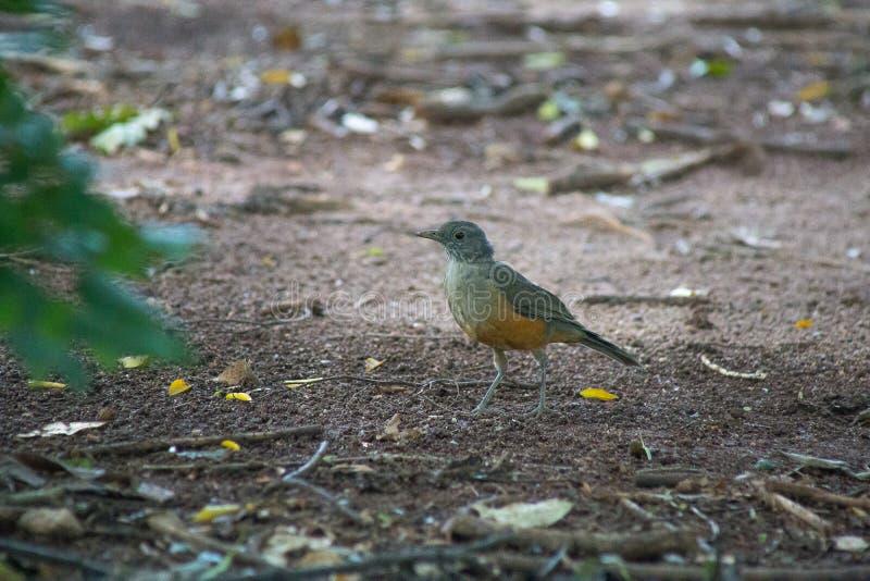 Le bel oiseau marchant dans la forêt il recherche la nourriture image stock
