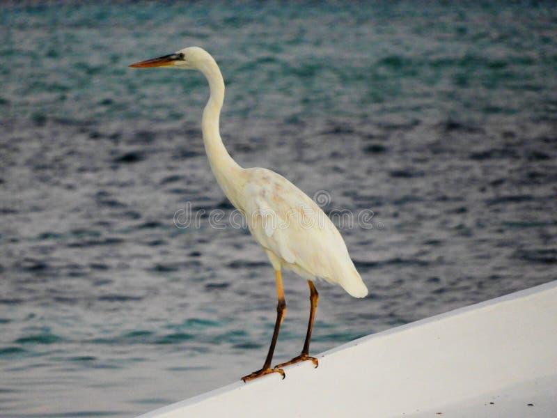Le bel oiseau marin en mer des Caraïbes photo stock
