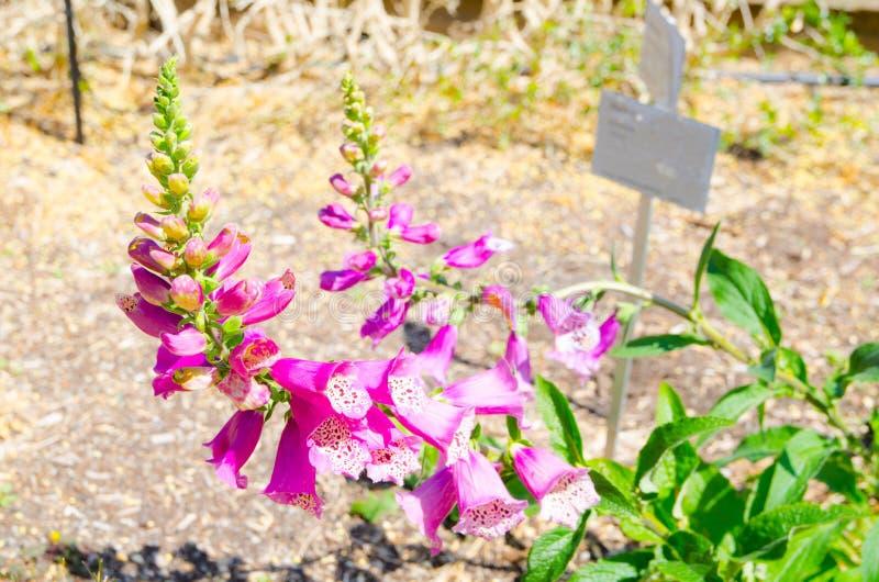 Le belle digitali purpuree fioriscono in una stagione primaverile ad un giardino botanico fotografia stock