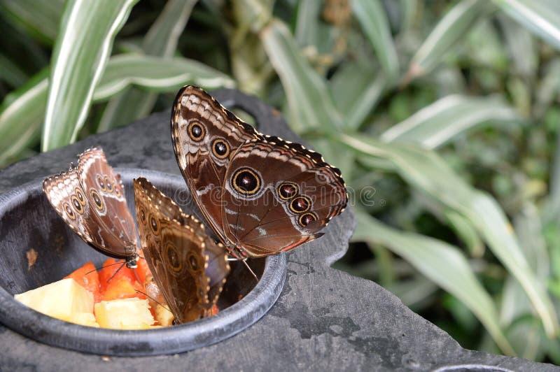 Le belle farfalle di Brown stanno mangiando i frutti sull'erba fotografie stock libere da diritti