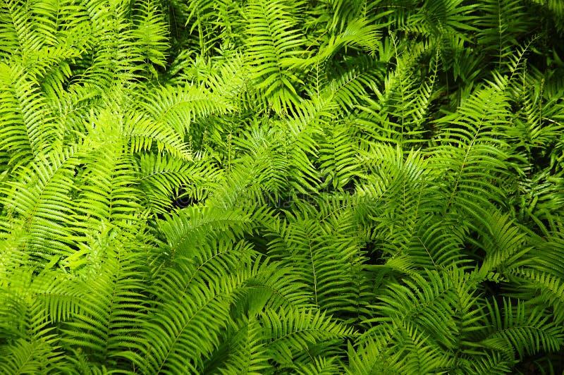 Le belle felci lascia a fogliame verde il backgro floreale naturale della felce fotografie stock