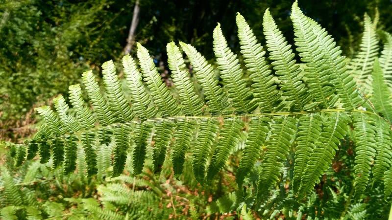 Le belle felci lascia a fogliame verde il fondo floreale naturale della felce al sole immagine stock