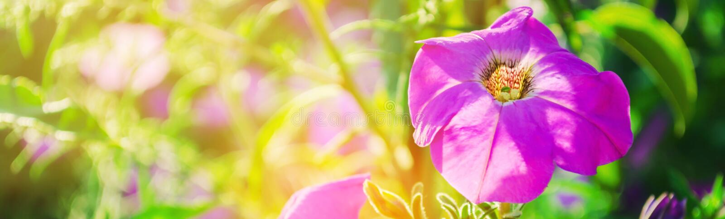 Le belle petunie porpora si sviluppano nel giardino un giorno soleggiato bea immagini stock