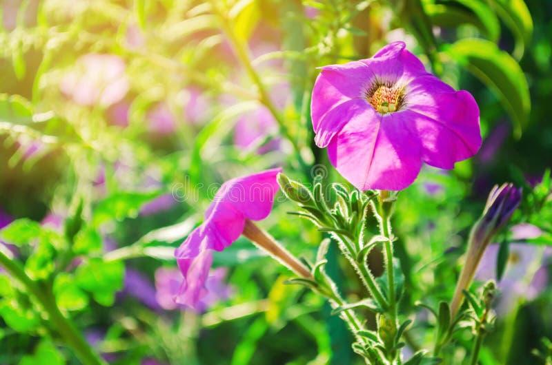 Le belle petunie porpora si sviluppano nel giardino un giorno soleggiato Bei fiori Carta da parati naturale Fondo immagini stock