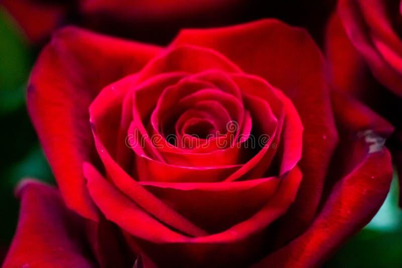 Le belle rose, utilizzate nell'amore o nell'amicizia, sono apprezzate dalle donne certamente che sono belle come loro immagine stock libera da diritti