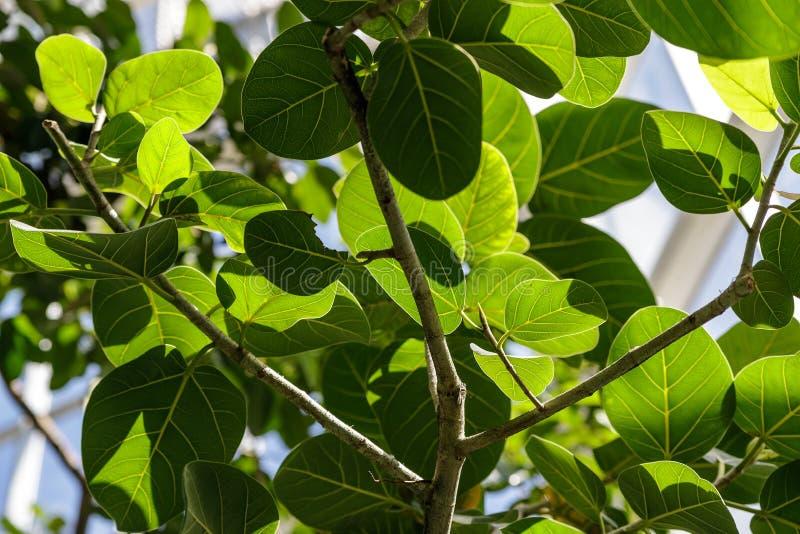 Le benghalensis de ficus est l'Inde et l'Himalaya Grandes feuilles vertes de ficus photographie stock libre de droits