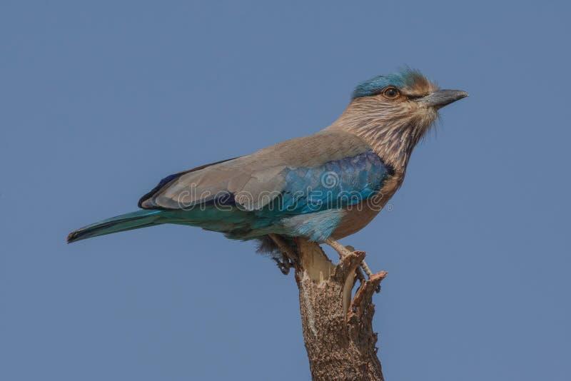 Le benghalensis indien de Coracias de rouleau était perché étroit  images libres de droits
