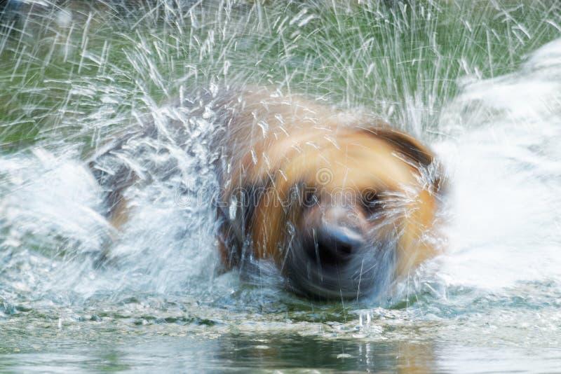 Le berger allemand Dog, Deutscher Schäferhund, est une race de milieu au grand chien d'utilité, éclaboussant l'eau en rivière photos stock