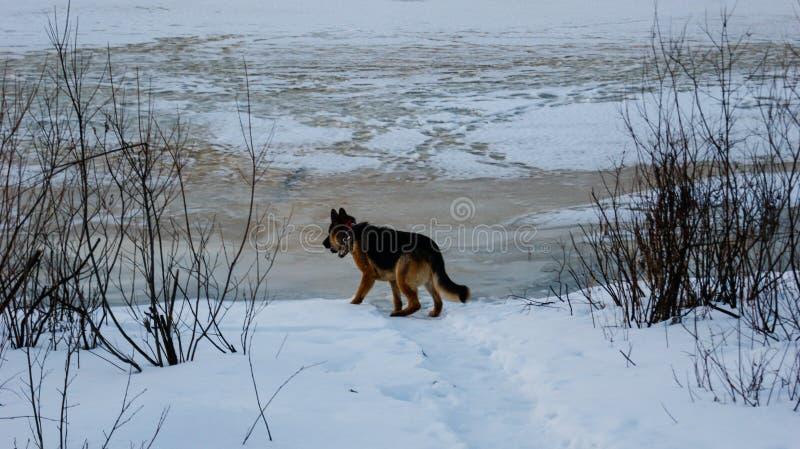 Le berger allemand Dog par la rivière en hiver, glace fond photographie stock libre de droits