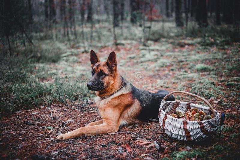 Le berger allemand est forêt photographie stock