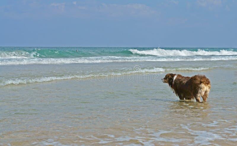 Le berger australien rouge attend le maître pour naviguer à la mer Charles Clore Park photos libres de droits