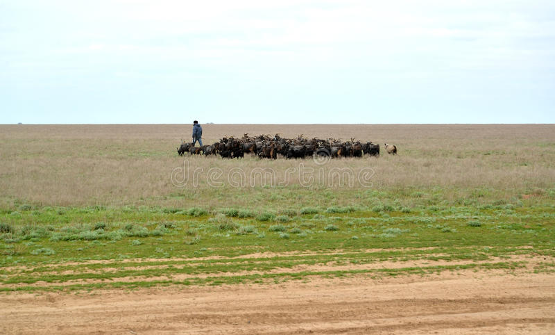 Le berger conduit le troupeau de chèvres sur un pâturage au printemps s image stock