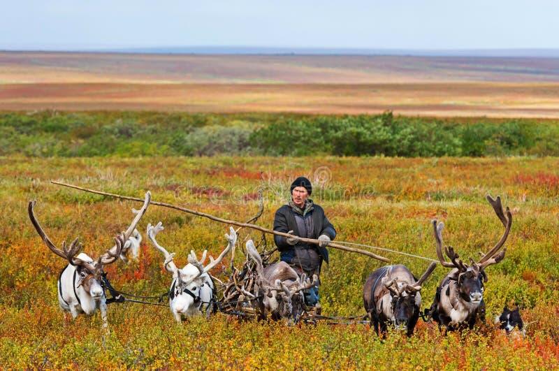 Le berger de nomade mène le traîneau avec le bois de chauffage à un camp images libres de droits