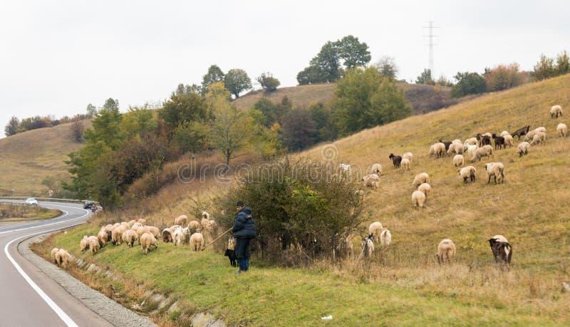 Le berger frôle des moutons et des chèvres près de la route passant par le village de Saschiz en Roumanie photographie stock libre de droits