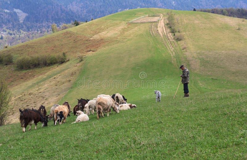 Le berger frôle le shMezhgore, Ukraine - 27 avril 2016 : Le berger frôle des moutons et les chèvres sur des points d'entrée et de images stock