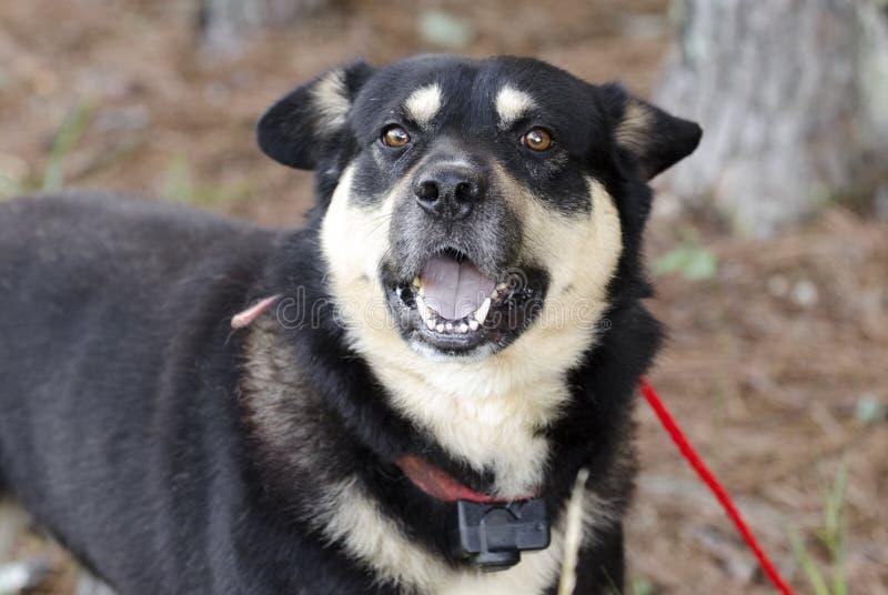 Le berger heureux Aussie Kelpie a mélangé le chien de race dehors sur la laisse rouge au collier de choc photo stock