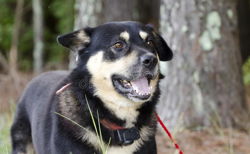 Le berger heureux Aussie Kelpie a mélangé le chien de race dehors sur la laisse rouge au collier de choc photographie stock