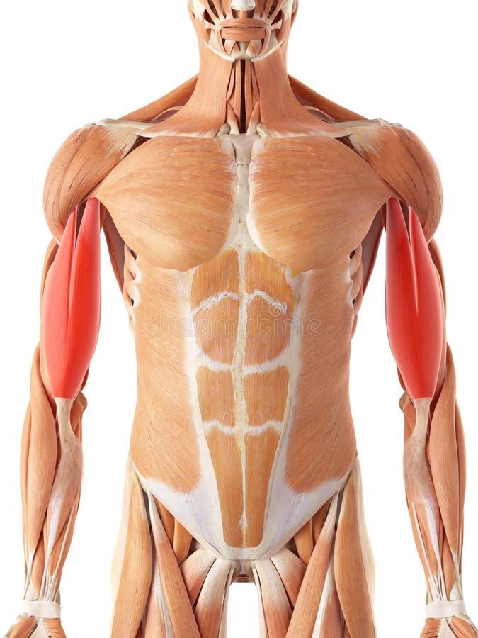 Le biceps illustration de vecteur