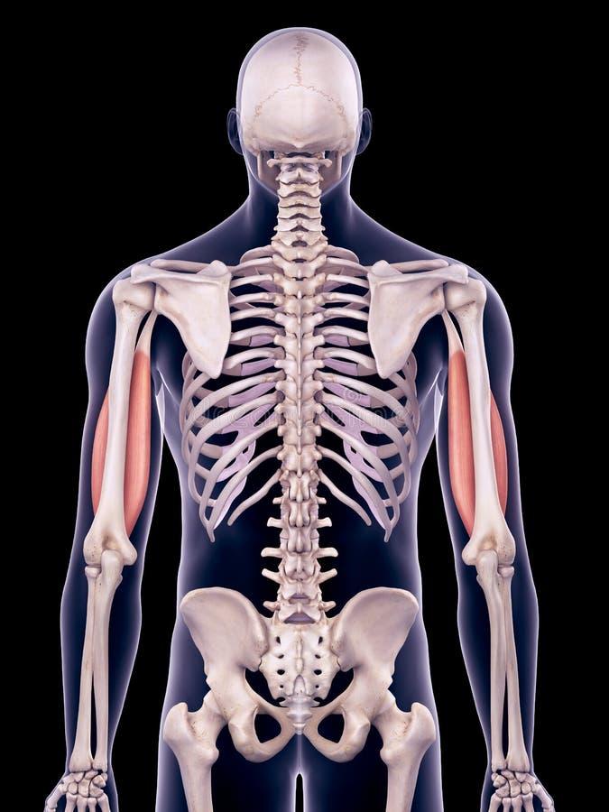 Le biceps illustration stock