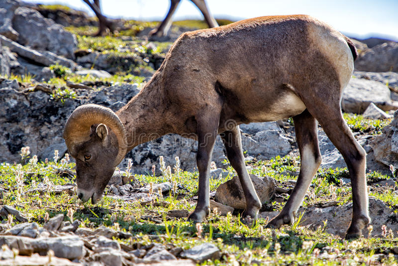 Le Big Horn se ferment vers le haut du portrait dans le Canada de parc de jaspe photo stock