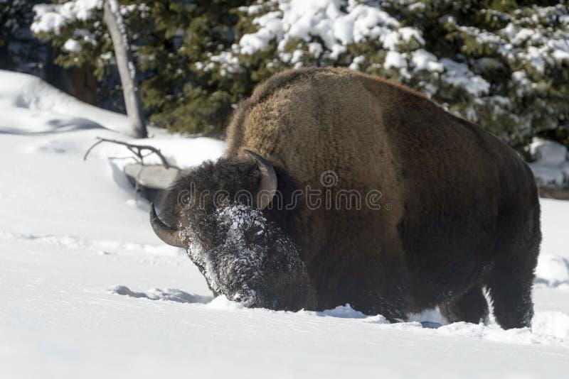 Le bison américain dans la neige, se ferment  photos libres de droits